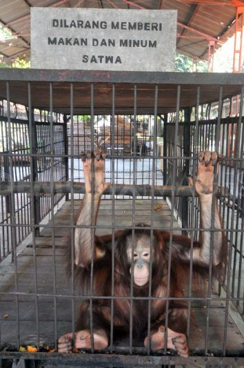 1347287275-surabaya-zoo-animals-kbs-decrease-in-numbers_1435778