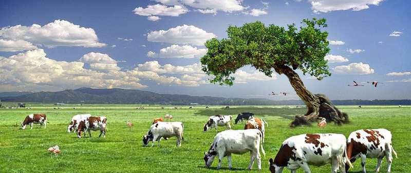 Cow_desktop_wallpaper