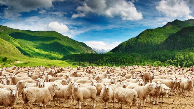 herd-of-sheep_7912