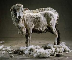mouton-tondu1