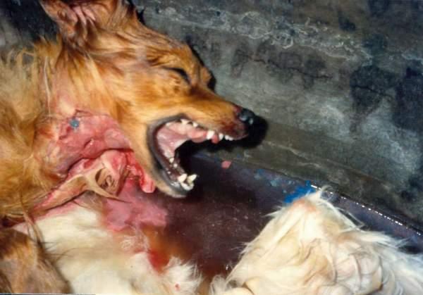 Vivisection_chiens (14)