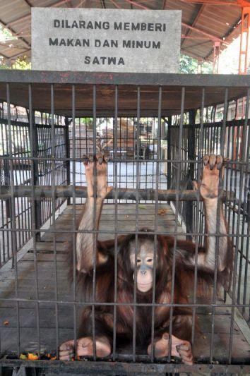 1347287275-surabaya-zoo-animals-kbs-decrease-in-numbers_1435778