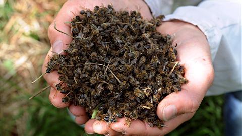 abeilles-mortes_8