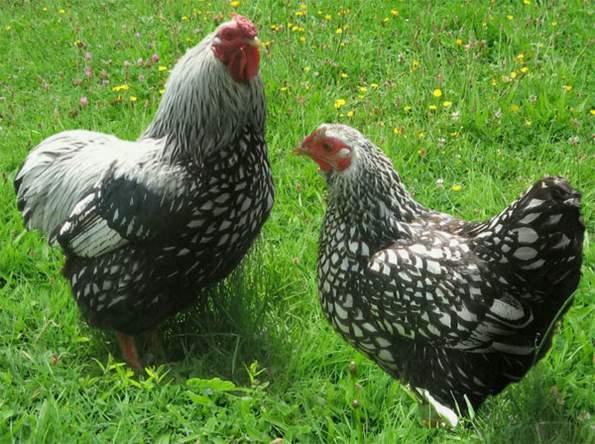 poules-et-déchets-organiques