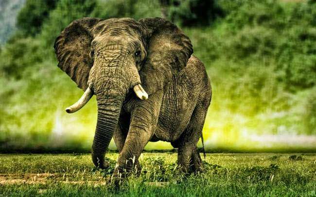 African Elephant Wallpapers (1)