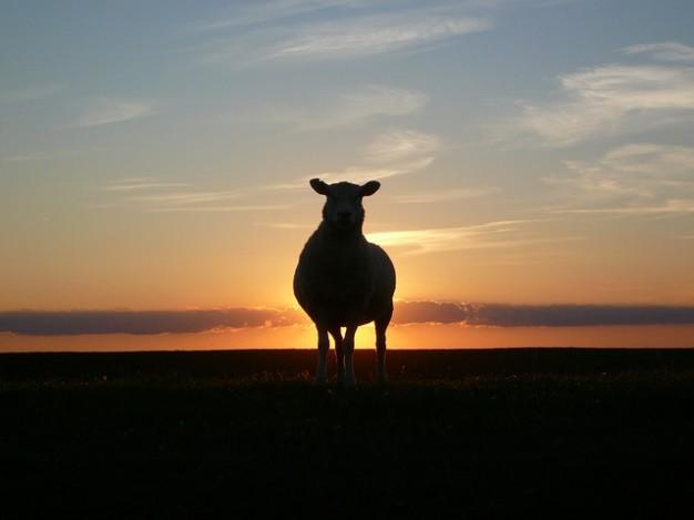 moutons-mer-coucher-de-soleil-digue-nord-nordfriesland_121-50494