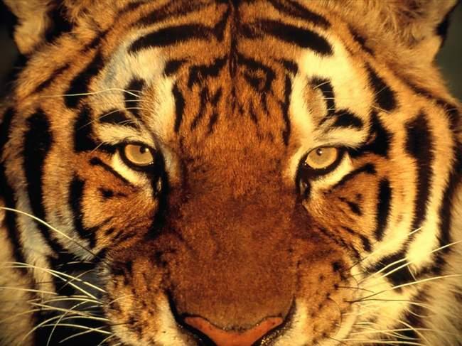 photo-de-felin-tigre-panthere (13)
