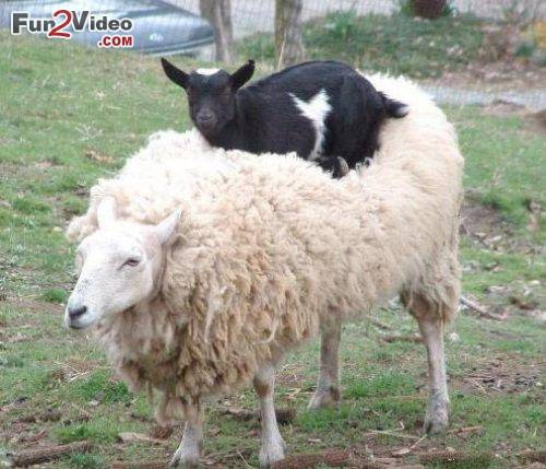 funny-sheep-goat-funny-friendship