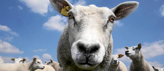 mouton-425077-jpg_283066