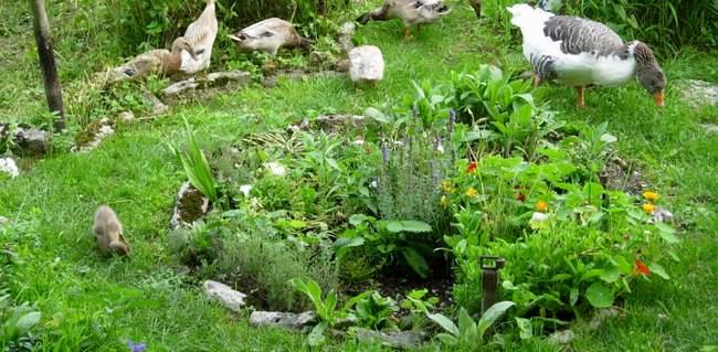 Enten_und_Gänse_als_Gartenhelfer