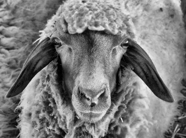sheep_by_honeytofla-d2z8nqw