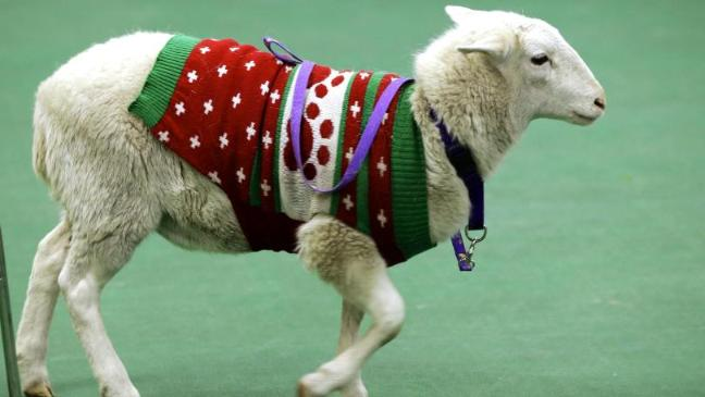 sheep-wanders-in-christmas-jumper-136394913398503901-141210155701