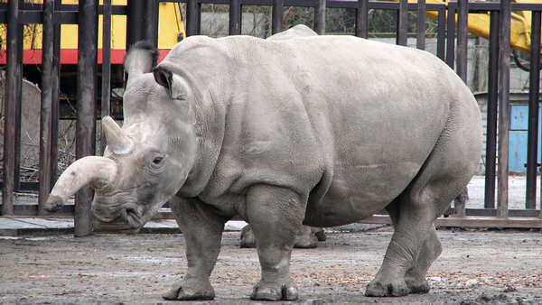 white_rhinocerus