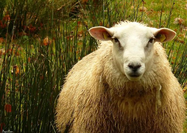 sheep-345691_640