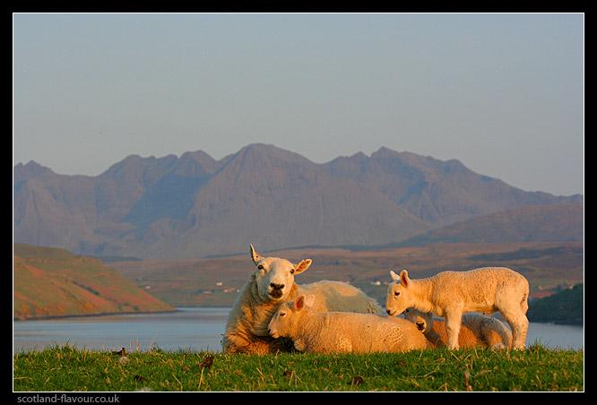 sheep_scotland_9106