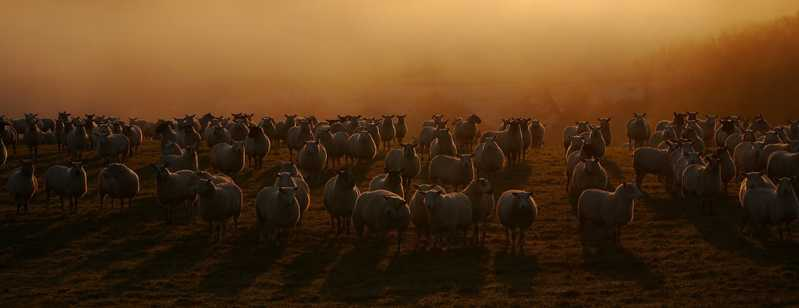 sheep-flock-22413-1920x1080