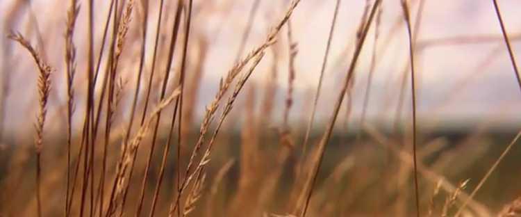 Semences blé