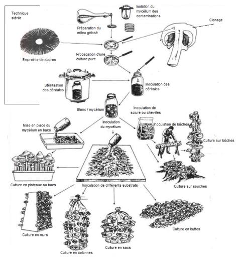 c3a9tape-de-culture-de-champignons