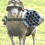 mouton casqué