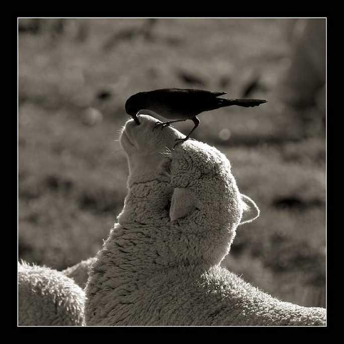 mouton oiseau