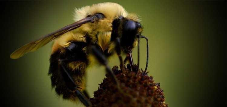 bee-bumblebee-ap