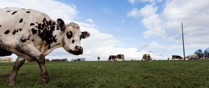 vache (7 sur 21)