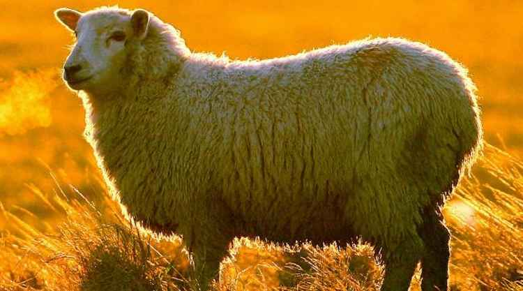 Mouton jaune