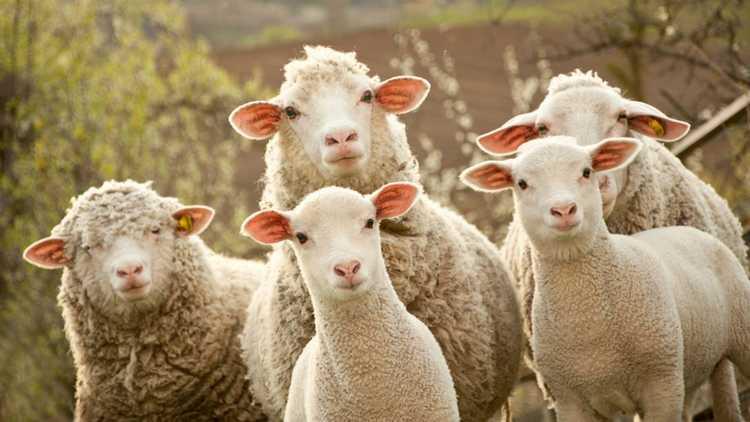sheep-970x546