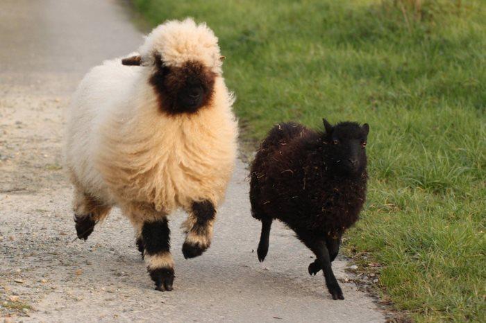 valais-blacknose-sheep-6-5810a84f7e6d1__700