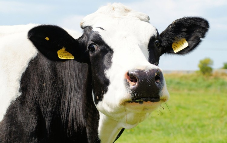 cow-394148_960_720