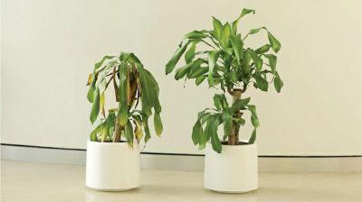 ikea demande aux gens de harceler cette plante pendant 30 jours pour voir ce qui arrivera les. Black Bedroom Furniture Sets. Home Design Ideas